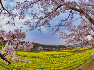 MoMo太郎さんの菜の花と桜の写真の画像