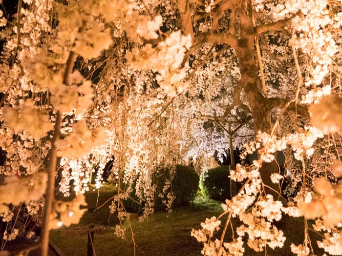 「桜のトンネル・夜桜」の画像1