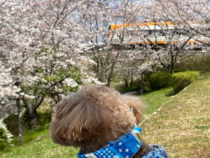 ぷにーの嫁さんの桜とワンちゃんの画像