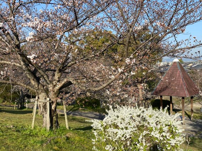 2021年3月24日、城陽市枇杷庄桜つづみで撮影のぷにーの嫁さんの画像2