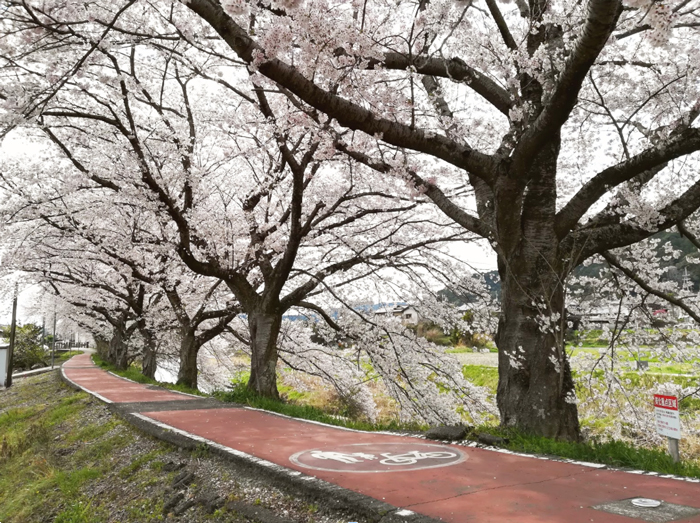 宇治田原の桜の写真画像