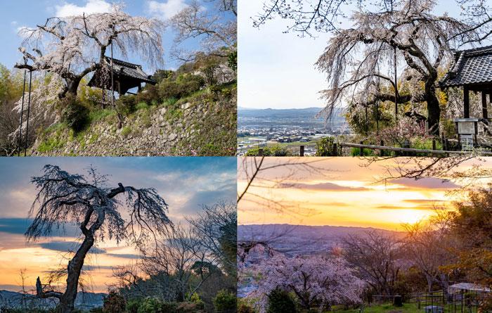地蔵禅院の桜サムネイル画像
