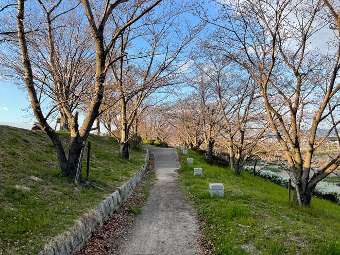 桜づつみ寺田緑地の画像 3月22日撮影