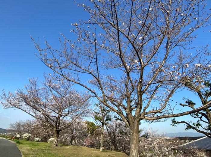 2021年3月24日、城陽市枇杷庄桜つづみで撮影のぷにーの嫁さんの画像1