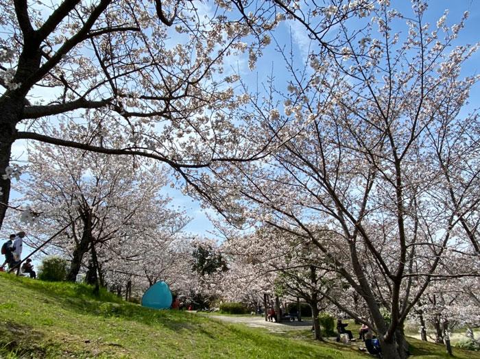 ぷにーの嫁さんの枇杷庄桜づつみの画像