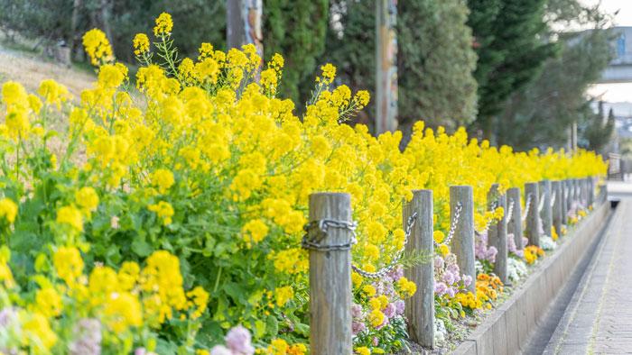 菜の花の花壇の画像