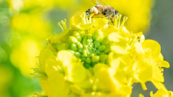 菜の花と蜂の画像