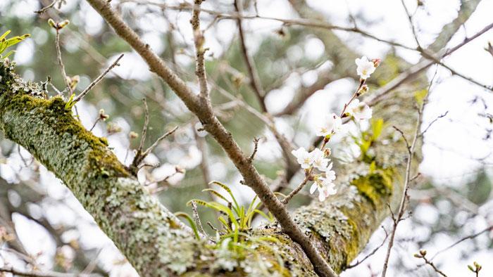 宇治川の桜の画像2