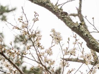 宇治川の桜の画像1