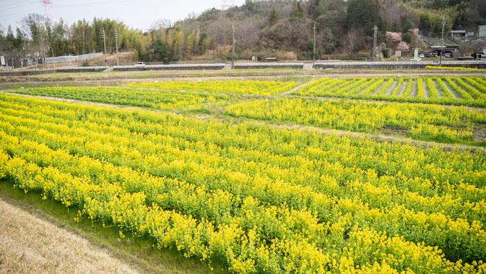 普賢寺の菜の花畑 上から写真(2021年)