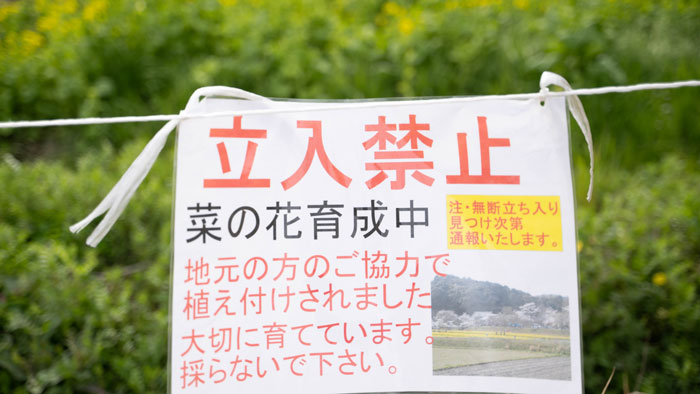 普賢寺の菜の花畑 立入禁止写真(2021年)