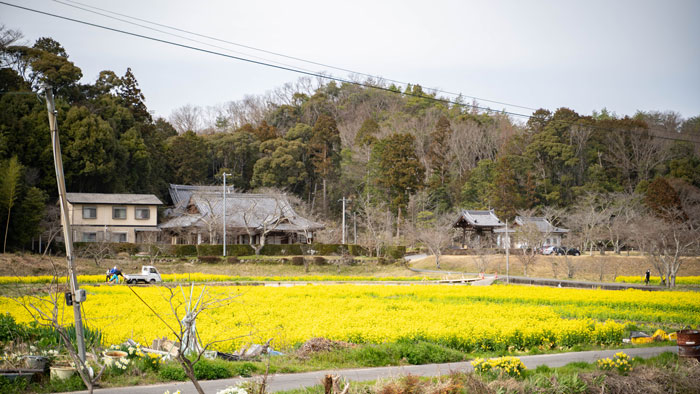 普賢寺の菜の花畑 下から写真(2021年)