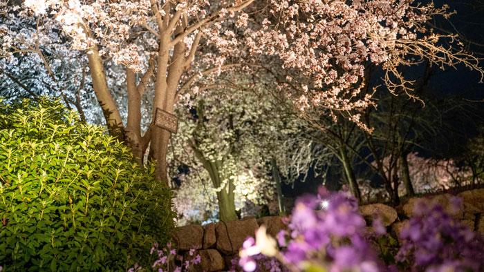 桜などの花の画像