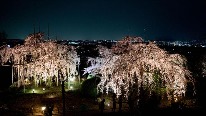 桜と夜景の画像