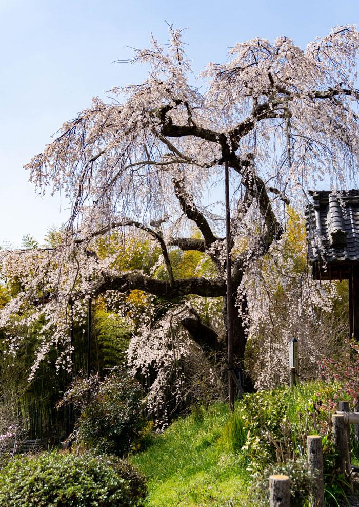「地蔵院しだれ桜」の画像3