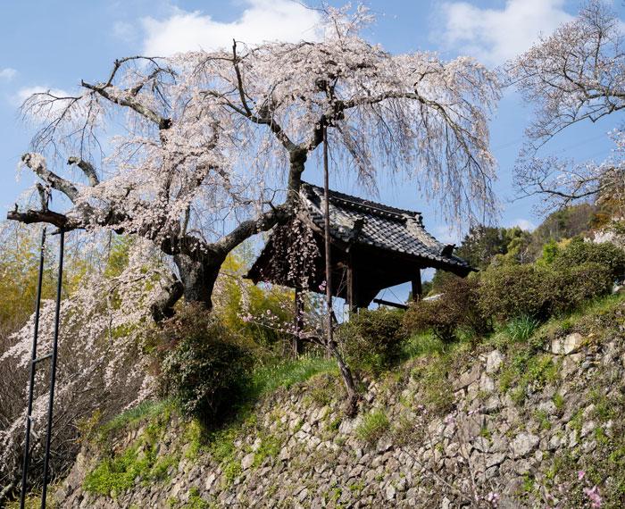 「地蔵院しだれ桜」の画像1