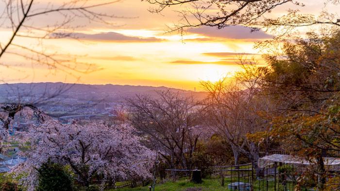 夕方の地蔵院の桜の画像1