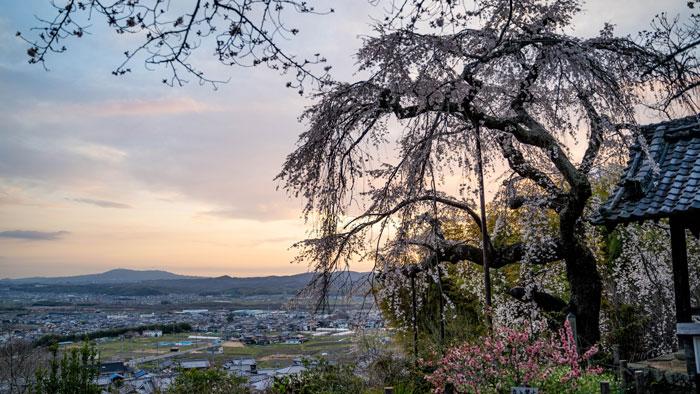 夕方の「地蔵院しだれ桜」の画像