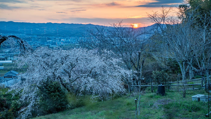 夕方の地蔵院の桜の画像2