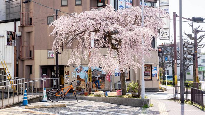 宇治警察署前の桜の画像