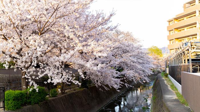「JR小倉駅」近くの桜の画像