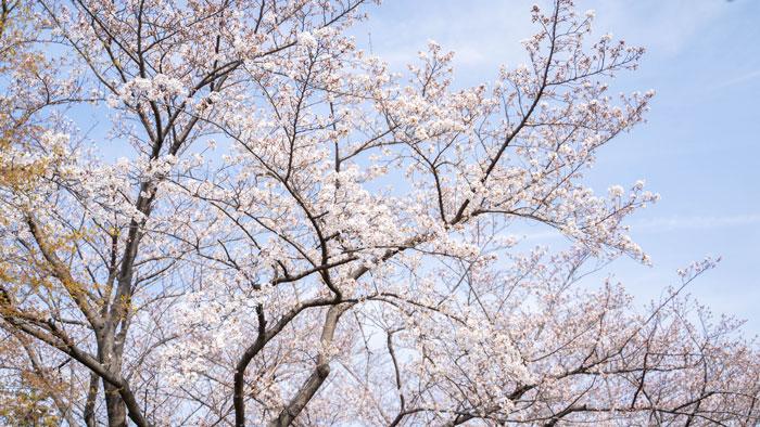 桜のアップ画像