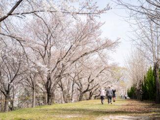 大久保駐屯地の桜の画像