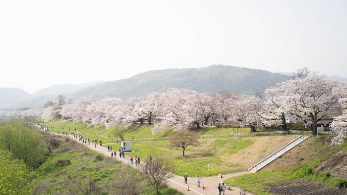 「背割堤の桜 2021年」の画像2