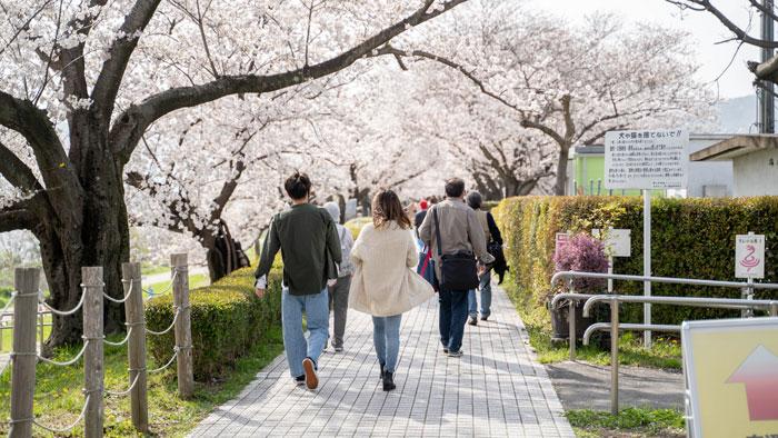 「背割堤の桜 2021年」の画像3