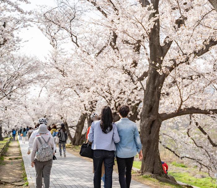 「背割堤の桜 2021年」の画像10