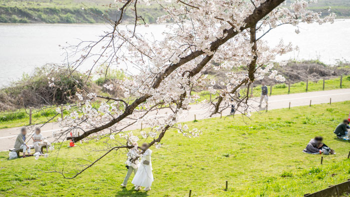 「背割堤の桜 2021年」の画像5
