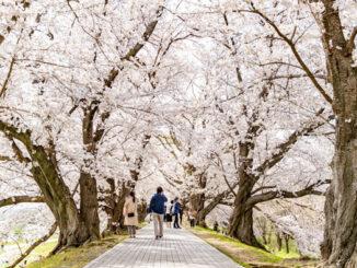 背割堤の桜トンネルの画像