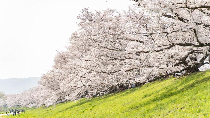 「背割堤の桜 2021年」の画像1