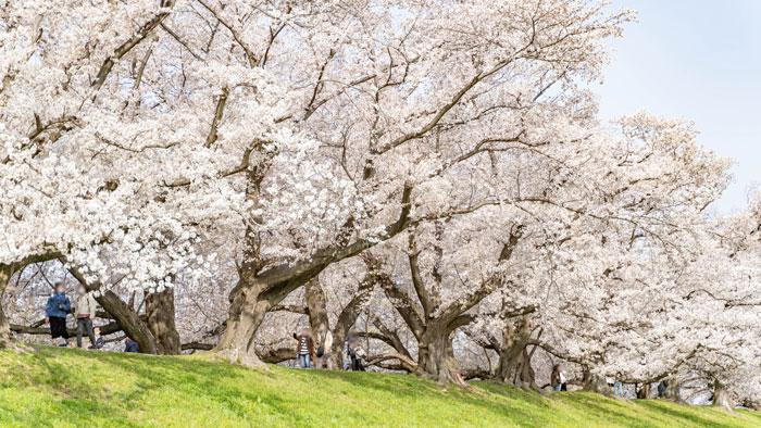 「背割堤の桜 2021年」の画像6