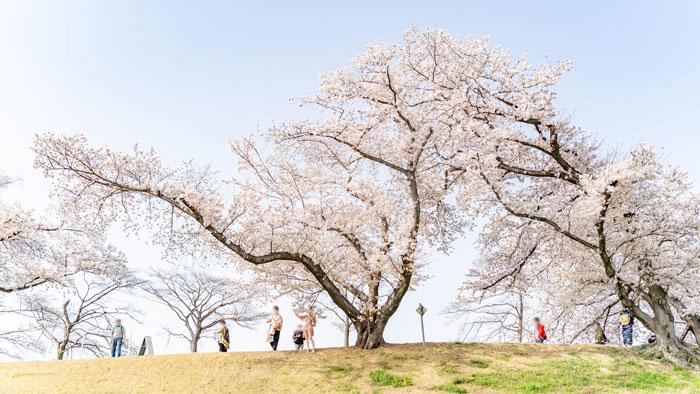 「背割堤の桜 2021年」の画像8
