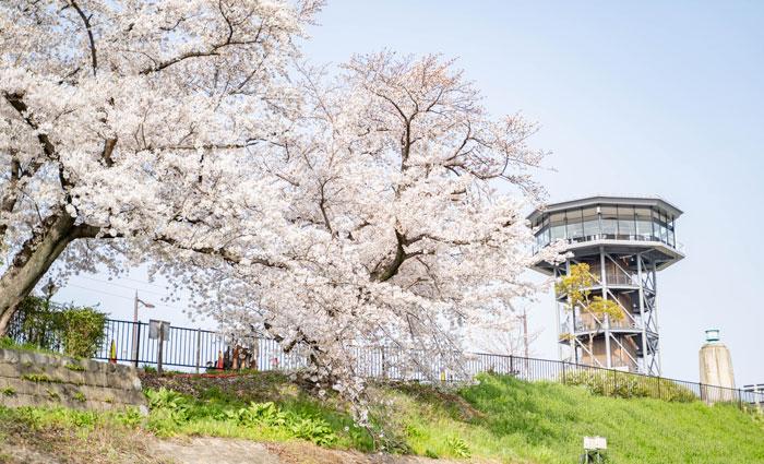 「背割堤の桜 2021年」の画像9