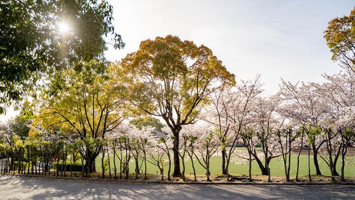 「黄檗公園野球場」と桜の画像5