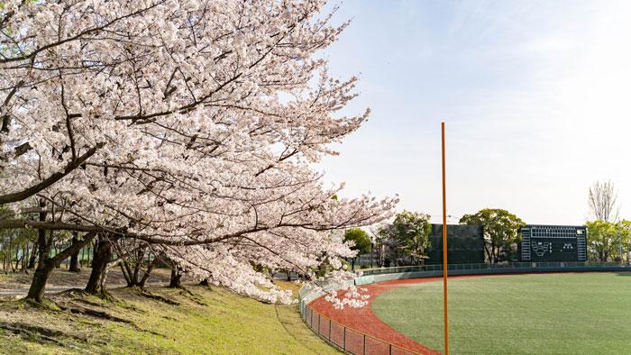 「黄檗公園野球場」と桜の画像1