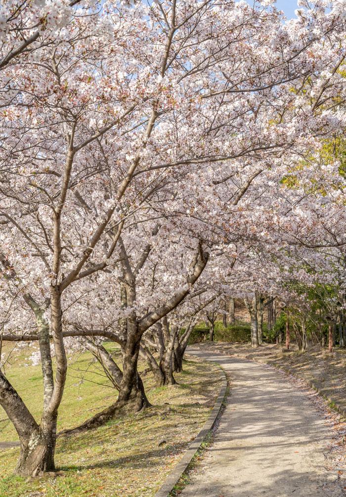 「黄檗公園野球場」と桜の画像3