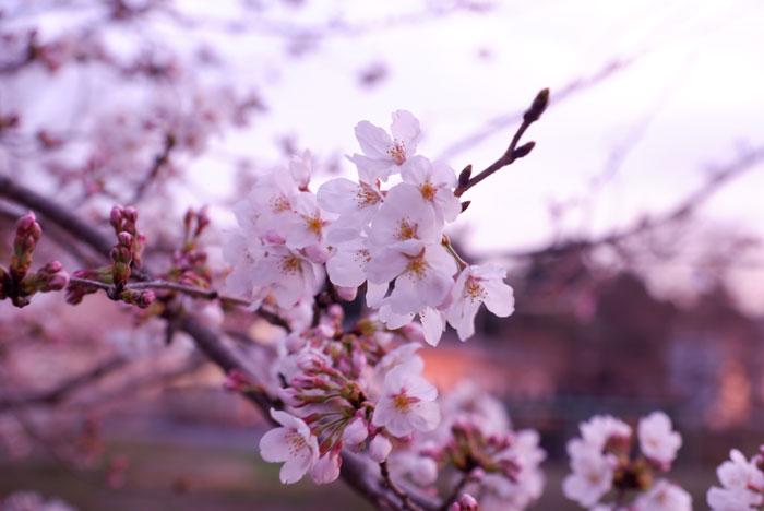 宇治田原町の桜の画像