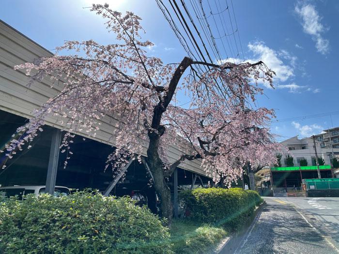 宇治市役所前の桜の画像 3月22日撮影