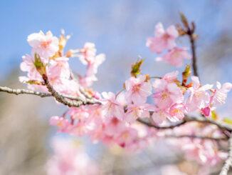 宇治市植物公園の桜の画像