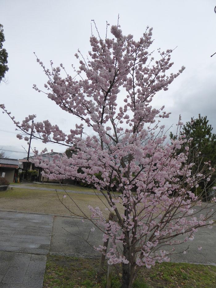 SOULDOGGさんの桜の写真