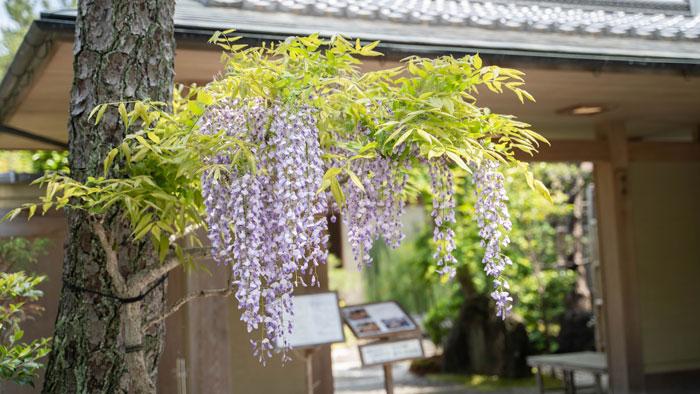 竹林さんの藤の花の画像