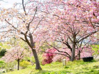 八重桜の画像1