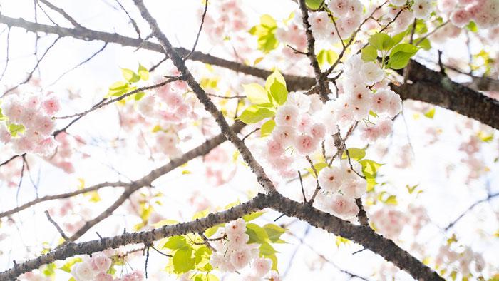 八重桜の画像6