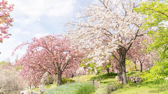 八重桜の画像5