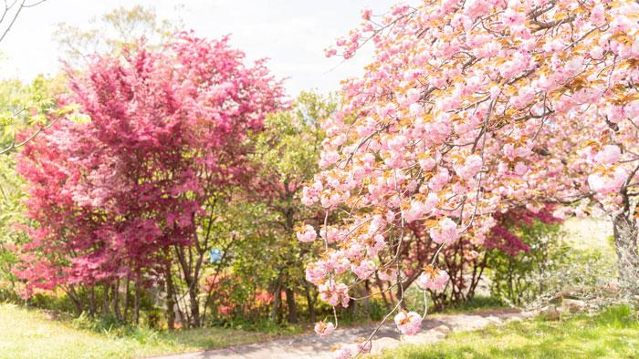 八重桜の画像2