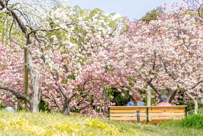 八重桜の画像4