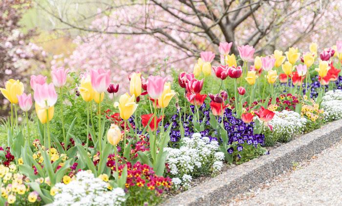 八重桜とチューリップの画像